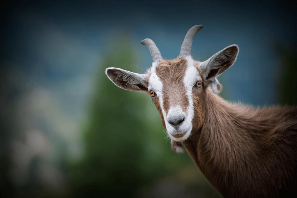 etiopia-koza