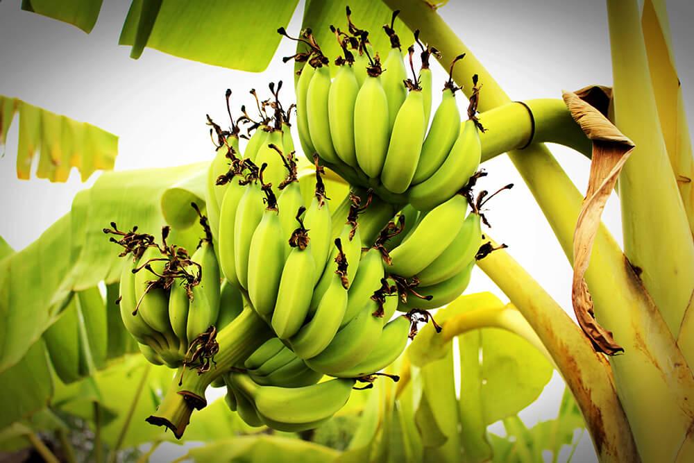 zelene banane
