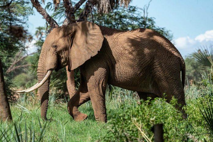 slonovi marihuana Trendy 1